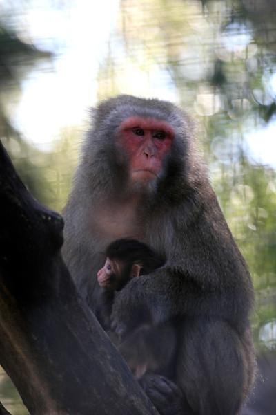 Macaca Mulatta Monkey and Baby-10