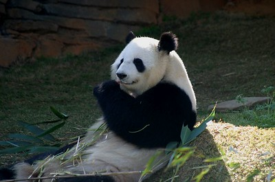 The male Great Panda at Zoo Atlanta.  I love the contented look on his face as he eats his lunch.
