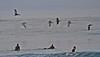 Pelican flock above surfers