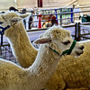 Alpaca<br /> <br /> Captured using Canon 6D + Canon 50mm f/1.8, ISO 800, f/6.3, 1/50sec, cropped, processed using PS-CS5 and IPv5.
