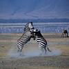 battling zebra