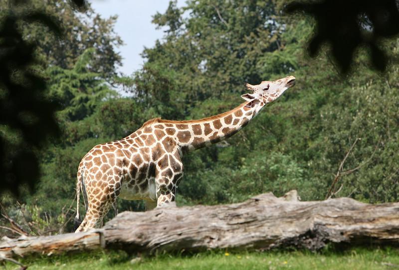 When Giraffes Get Indigestion