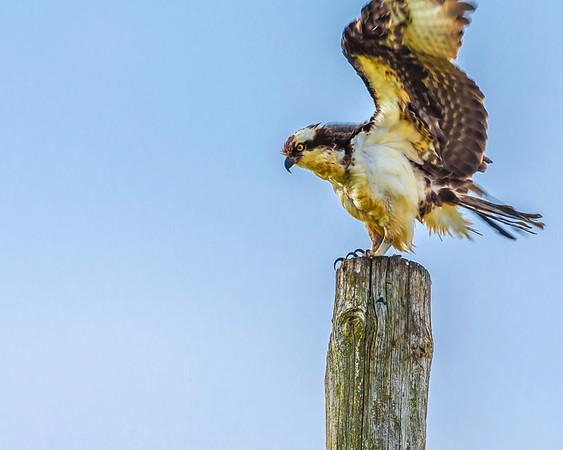 Osprey Flexing