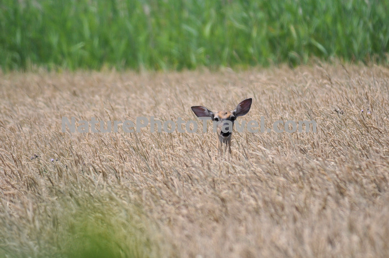Peek-a-boo! Deer in Tall Grass: