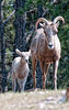 Bighorn sheep; the baby had been nursing and mom just moved away.