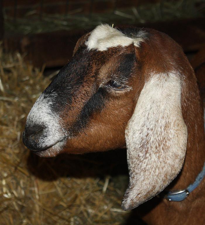 Young Nubian Doe Goat