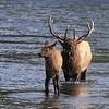 Bull Herding a Calf