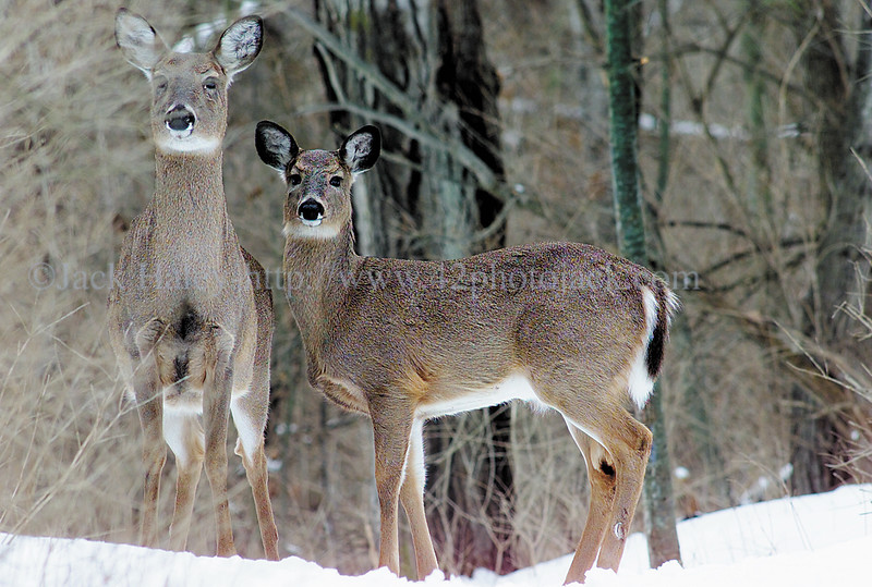 jhmendondeer - A pair of deer look up from eating on a path in Mendon Ponds Park on Tuesday.
