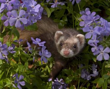 Ferret in flowers