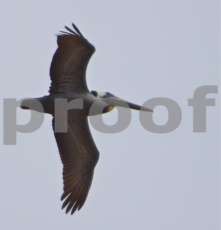 Malibu Pelican #3