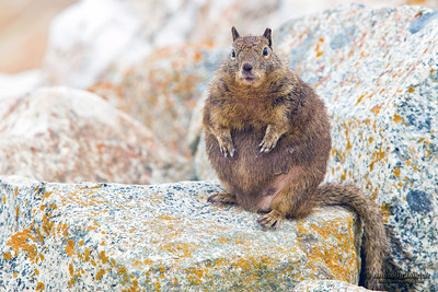 Overfed Fat Squirrel.  Squirrels belong to a large family of small or medium-sized rodents called the Sciuridae.