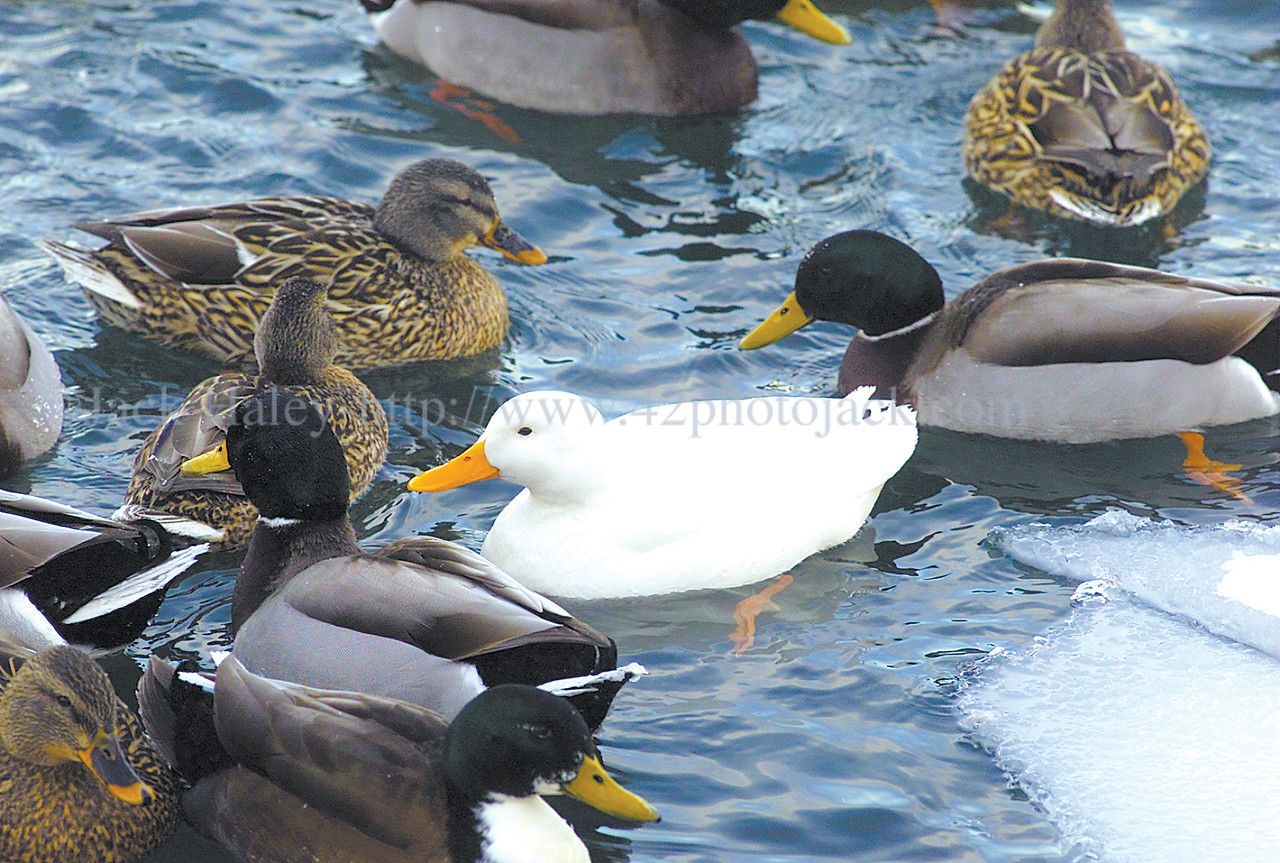 jhwhiteduck - This white duck seems like part of the family with all these mallard's as they swim next to the City Pier on Canandaigua Lake.