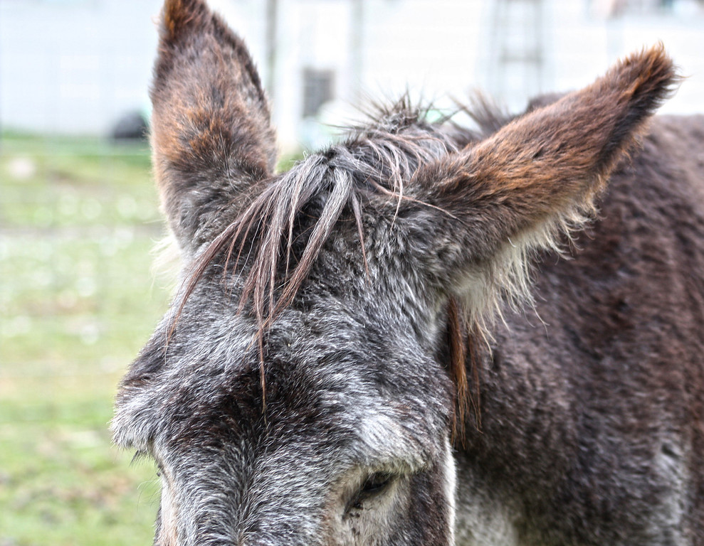 Donkey bad hair day!
