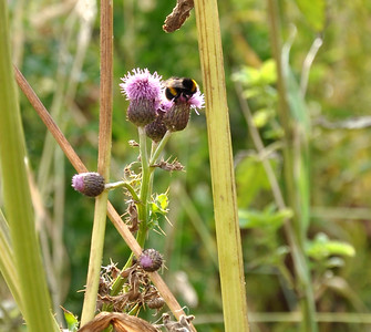 Scottish bee on thistle