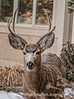 Buck on the Front Walk