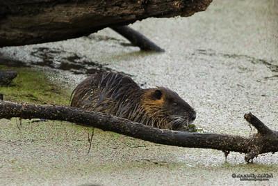 North American beaver (Castor Canadensis).