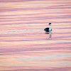 Pin Tail Duck on San Francisco Bay Surrounded by Water Catching the Color of the Sunrise