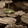 Frog on Lilly Pad