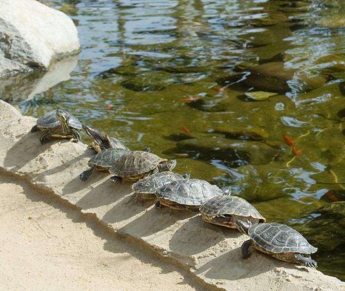 TurtlesSunningByThePond1747