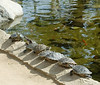 TurtlesSunningByThePond1747