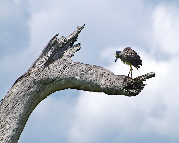Kingfisher at Elm Lake
