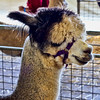 Alpaca<br /> <br /> Captured using Canon 6D + Canon 50mm f/1.8, ISO 800, f/6.3, 1/80sec, cropped, processed using PS-CS5 and IPv5.