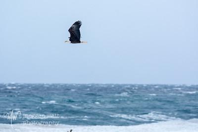 Eagle Over Sleeping Bear Bay, 2/14/15