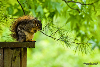 Squirrel on a fence.