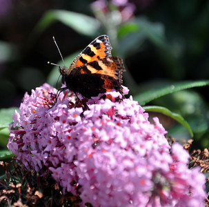 Tortoiseshell butterfly eating from flower