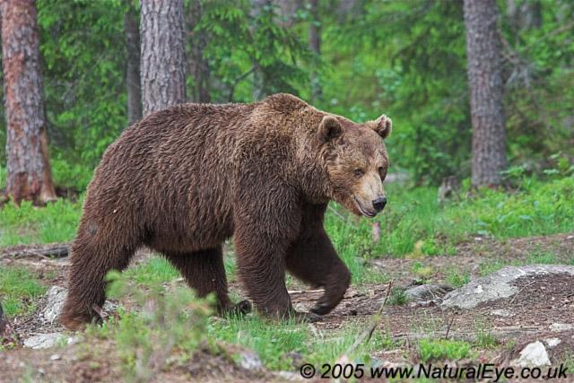 European Brown Bear, Martinselkonen, Finland