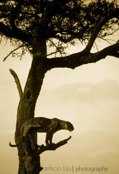 Leopard surveying the savannah