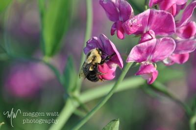 Bumble Bee on Sweet Pea