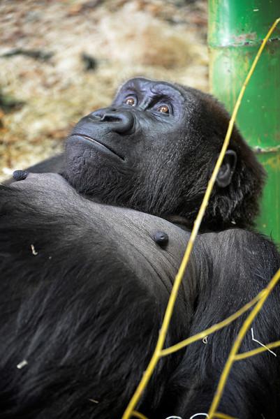 Gorilla 2 Chicago zoo