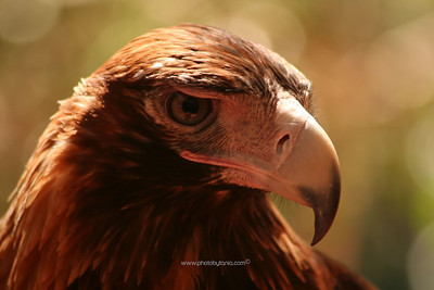 Wedge-tailed Eagle, Northern Territory, Australia.  See more photos in the archive