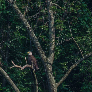 A pair of bald eagles nested 3 miles from my city home in the South Side flats this Summer. This hardly a good photo, but my first ever sighting of a wild bald eagle and so close to the city to boot. I had to shoot from far away as the nesting area was pretty inaccessible.