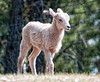 Bighorn Sheep lamb; best viewed in the largest sizes