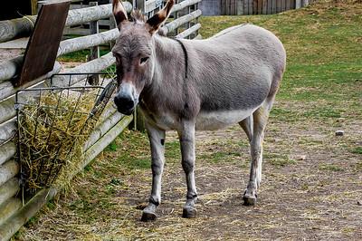 Donkey at feeding time