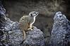 Morning Meerkat