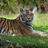 Tiger - Animal Kingdom, Orlando, FL