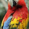 Scarlet Macaw, AZ
