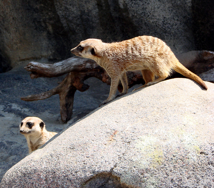 Can you tell I like meerkats?  Or is it just blatantly obvious that they're among the few animals in the zoo you can get relatively close to for pictures?