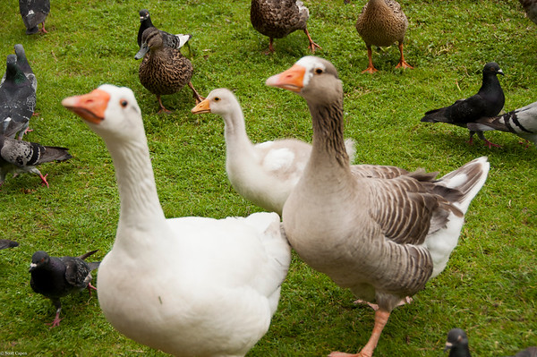 Ducks, Pigeons, Goslings, Oh My....