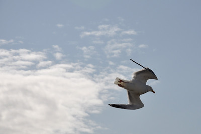Seagull soaring in the clouds
