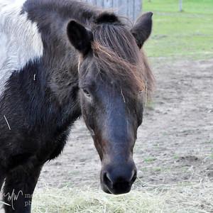Uggi the Icelandic Pony