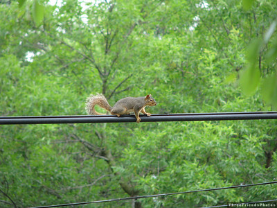 0607_6201_Squirrel_North_American_Red