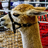 Alpaca<br /> <br /> Captured using Canon 6D + Canon 50mm f/1.8, ISO 800, f/6.3, 1/100sec, cropped, processed using PS-CS5 and IPv5.