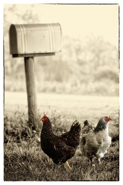 Postal Chickens