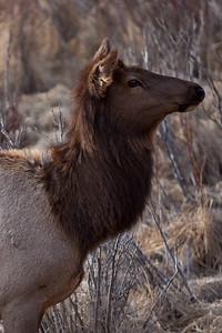 Banff , Alberta, 09, Elk