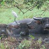 Water Buffaloes in the mud 2