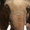 Asian Elephant<br /> Scientific Name:  Elephas maximus